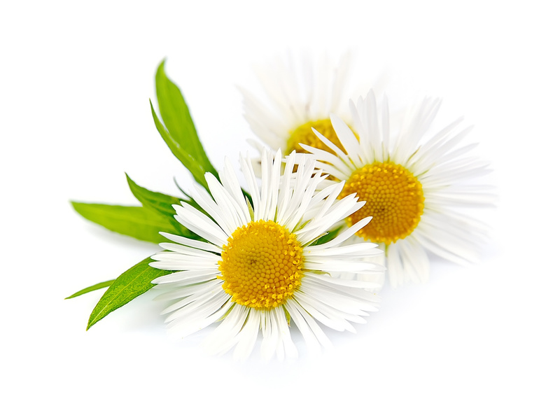 Die Kamille - beruhigend auf Körper und Seele und deshalb in der Homöopathie im Einsatz.